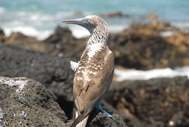 Blue-Footed Booby- travel Galapagos independently