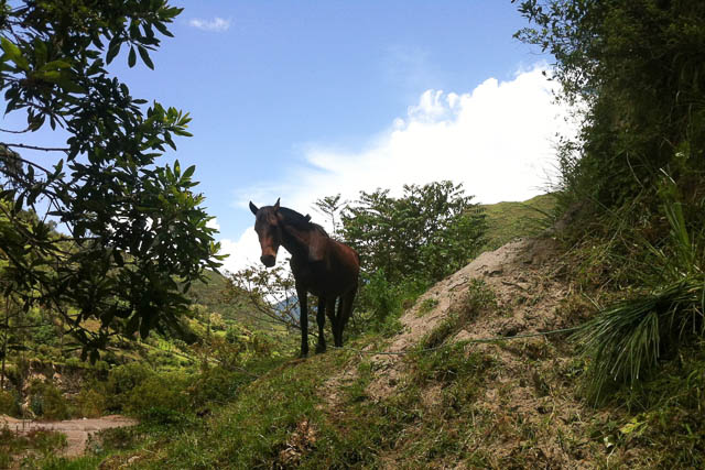 Quilotoa loop, a brown horse on a hiking trail with trees