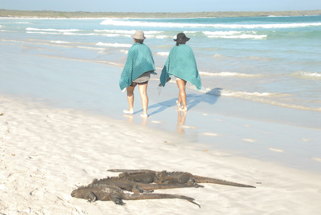 Iguanas at Tortuga Bay- travel Galapagos independently