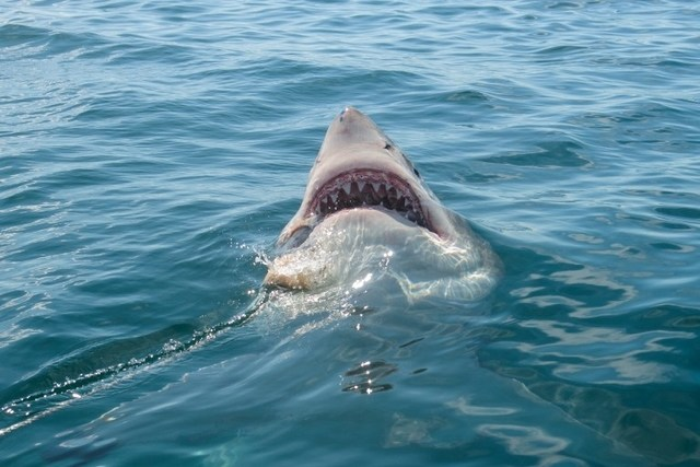 a great white shark catching the chum