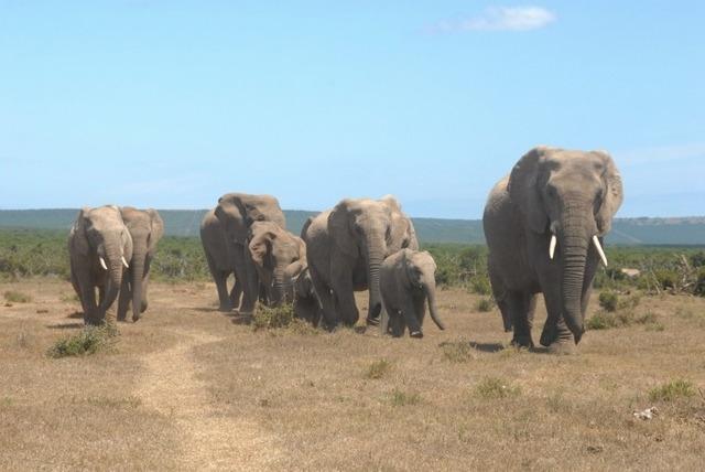 south africa garden route, addo elephant national park
