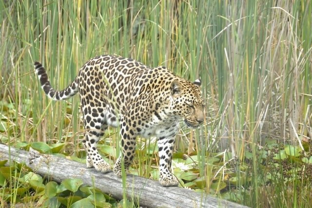 leopard at tenikwa big cat sanctuary