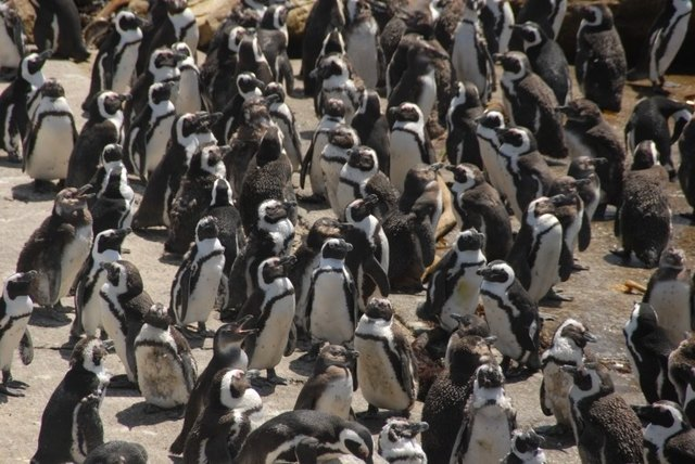 south africa garden route, penguins at betty's bay