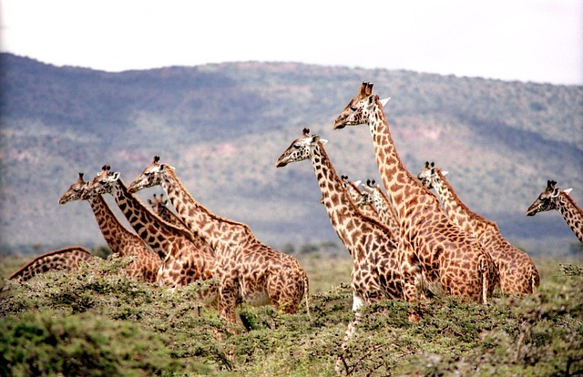 Etosha African Wildlife giraffes