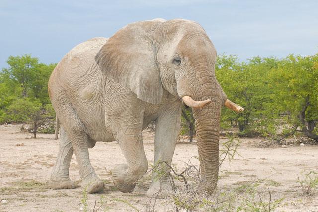 Bull elephant walking on sand with trees in Etosha Namibia