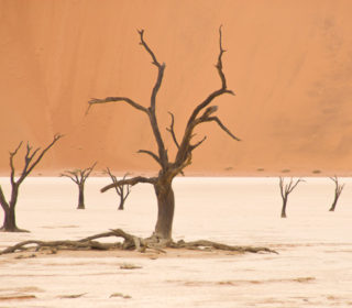 Sossusvlei: Dead tree on salt pan with red dune background.