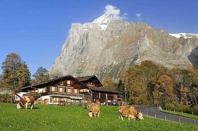 The view from Grindelwald with Swiss cows grazing contentedly as you pass by on your Swiss train journey