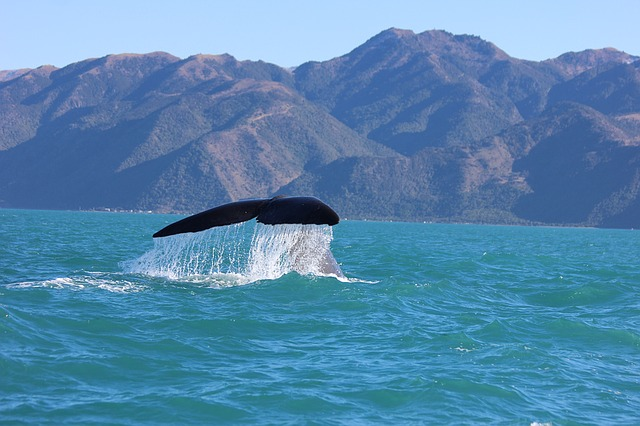 A humpback whale surfaces on the Kaikoura coast, New Zealand