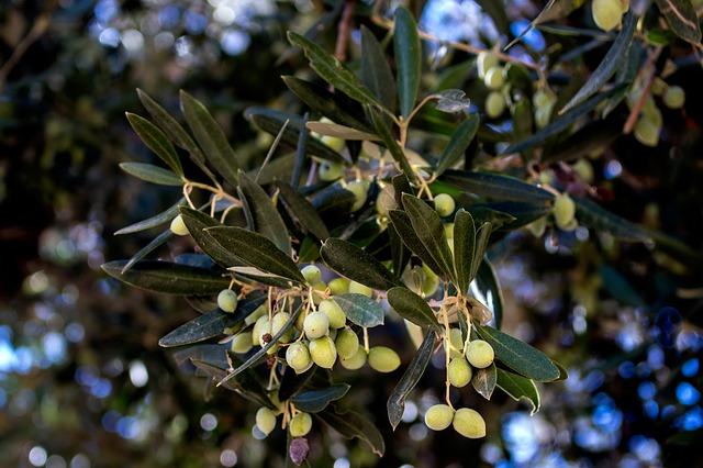 Kalymnos Olive branch