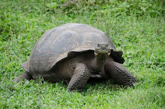 Giant tortoises in Galapagaos
