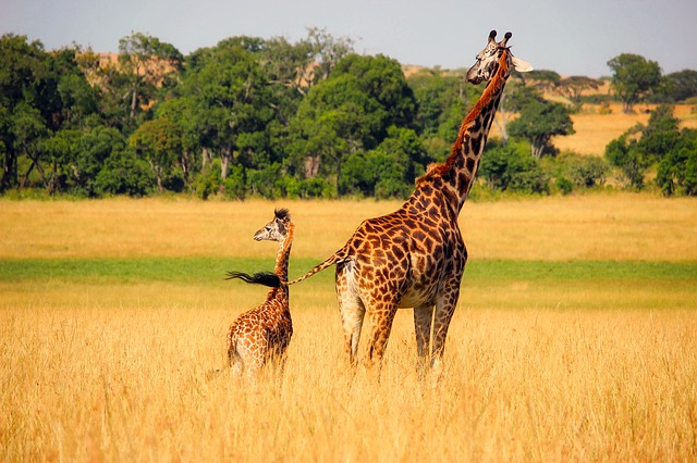 Giraffe and newborn together