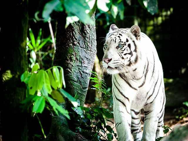 Spot white tigers