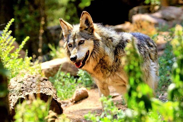 Colorado Wildlife and Wolf Center