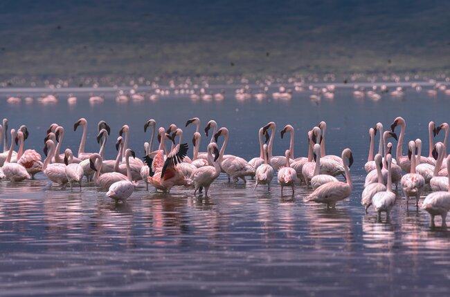See Thousands of Flamingos in Kenya